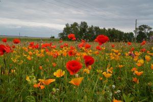 Wiesenblumen am Weg zwischen Kloster und Vitte. Foto: Ulrich Horb
